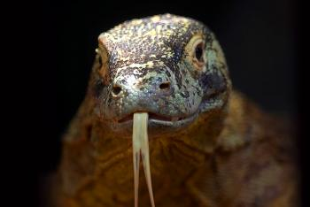 Komodo dragon sticking its forked tongue out