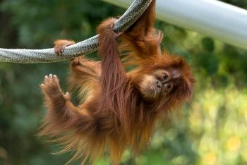 Baby orangutan holding onto ropes with arms and legs