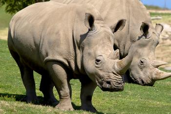 A pair of Southern White Rhinos