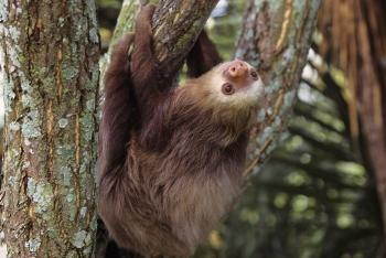 Young sloth is hanging on a tree branch