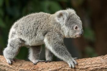 A baby koala, or joey, crawls across a wood branch
