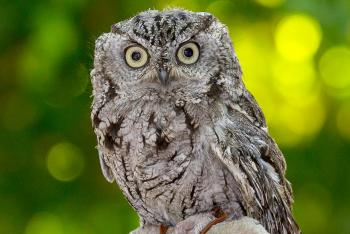 Screech owl sitting in front of green tree leaves