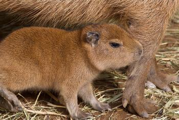 Capybara bay stays close to its mother's forelegs