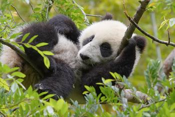 Baby panda Su Lin resting up in a tree's branches