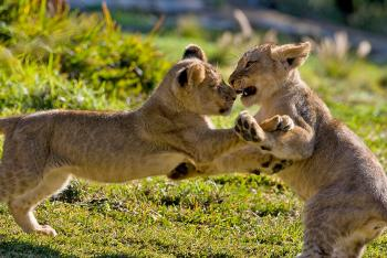 A pair of lion cubs play fight