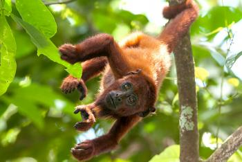 Howler monkey hanging by its tale from a small tree branch