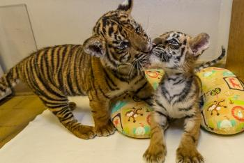 Two tiger cubs, one licking the other's mouth as it sits on a baby's boppy pillow