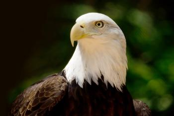 Bald eagle looking left in front of a green leafy background