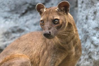 Adult fossa looking off to the left, standing in front of rocky wall.