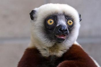 Cockerel's sifaka with mouth sightly agape
