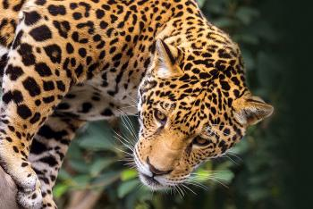 Jaguar looking to the left as it climbs down a tree trunk