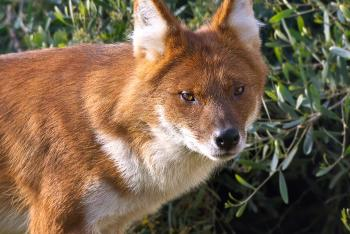 Dhole standing in front of a green shrub.