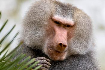 Male hamadryas baboon looking off to the side.