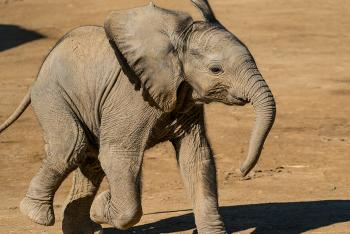 Zuli the baby African elephant.
