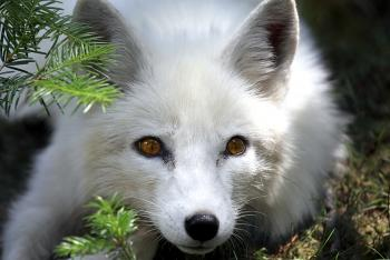 Arctic fox laying on pine forest floor.