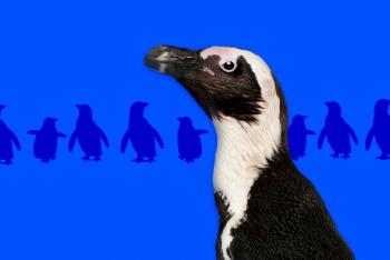 African penguin standing in front of a line of penguin silhouettes.